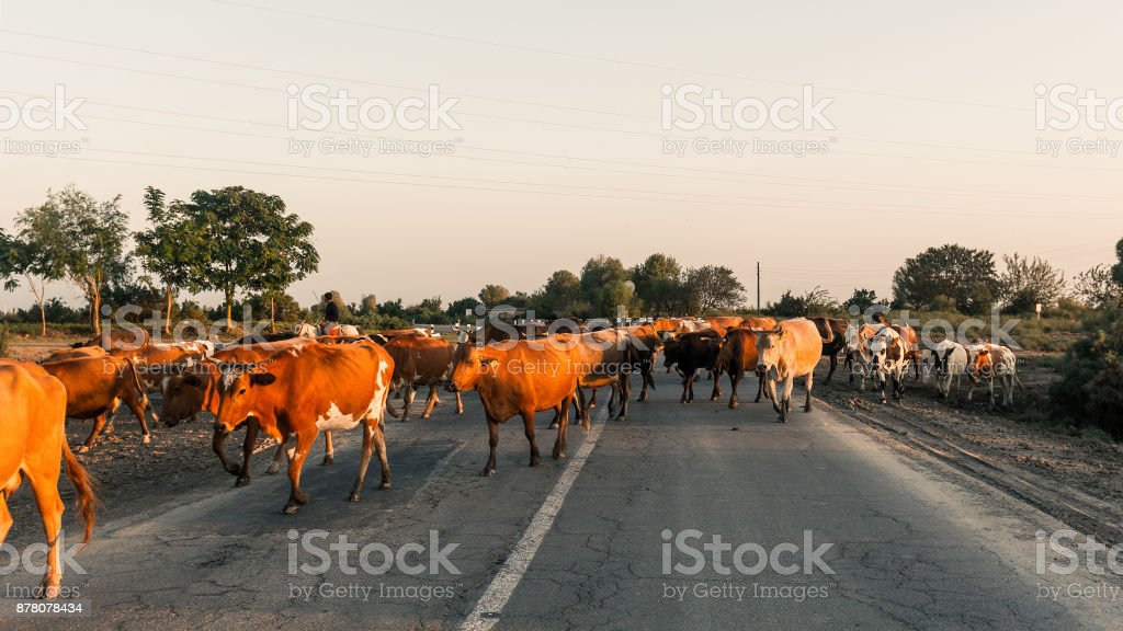 Herd of cows on the road stock photo