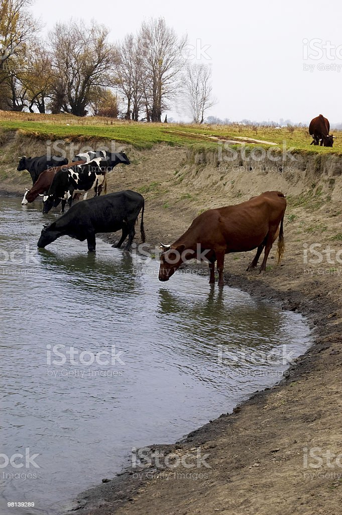 Herd of cows on water background royalty-free stock photo