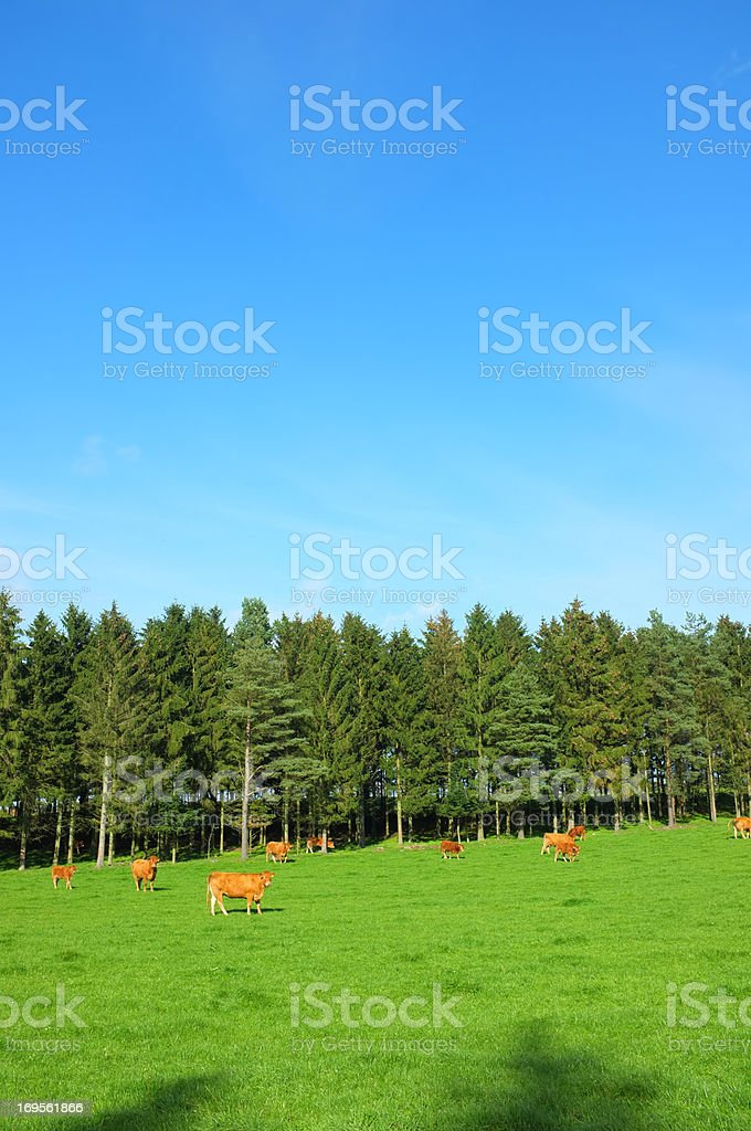 Herd of cows out grazing royalty-free stock photo