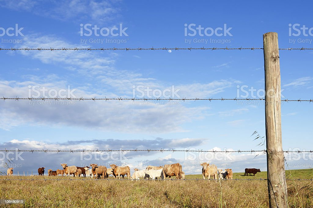 Herd of cows royalty-free stock photo