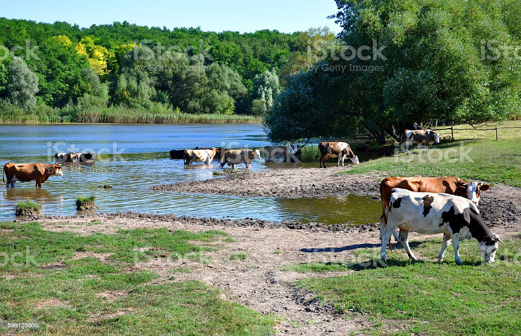 herd of cows standing in a lake stock photo