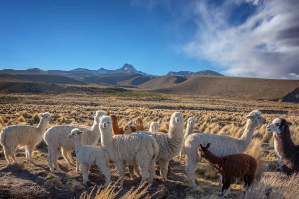 Herde neugierige Alpakas in Bolivien – Foto