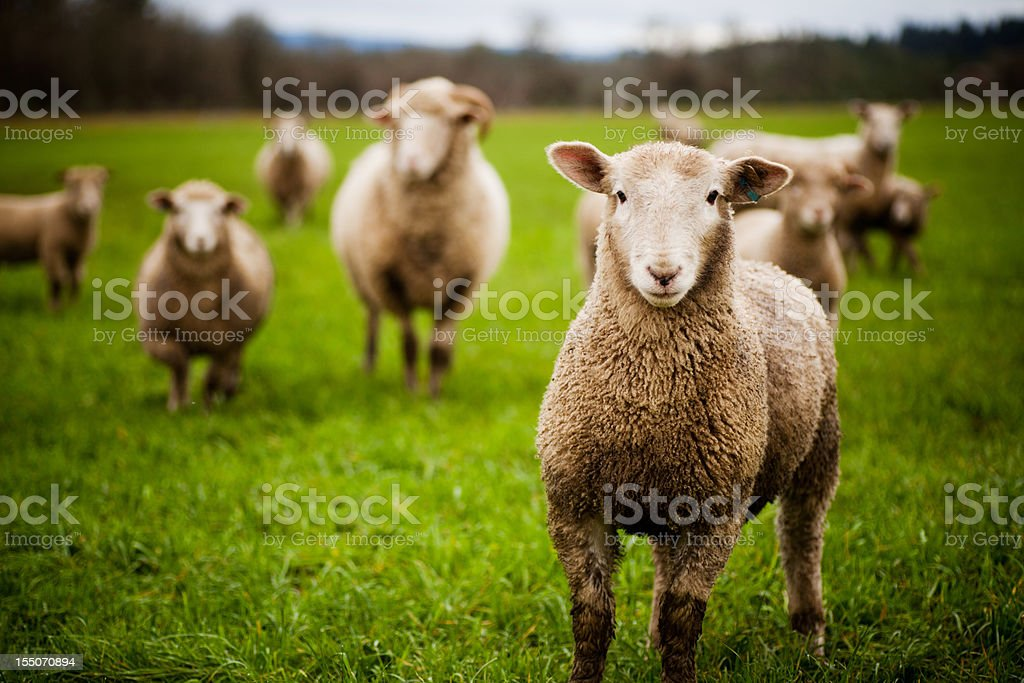 Herd of curious sheep looking at the camera stock photo