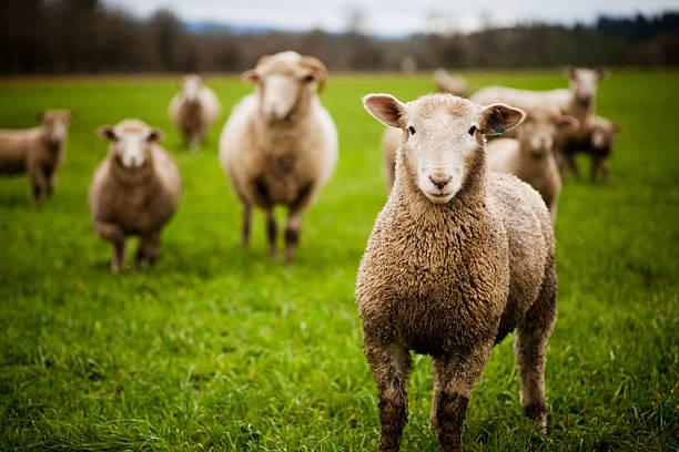 Troupeau de moutons curieux regardant à la caméra - Photo