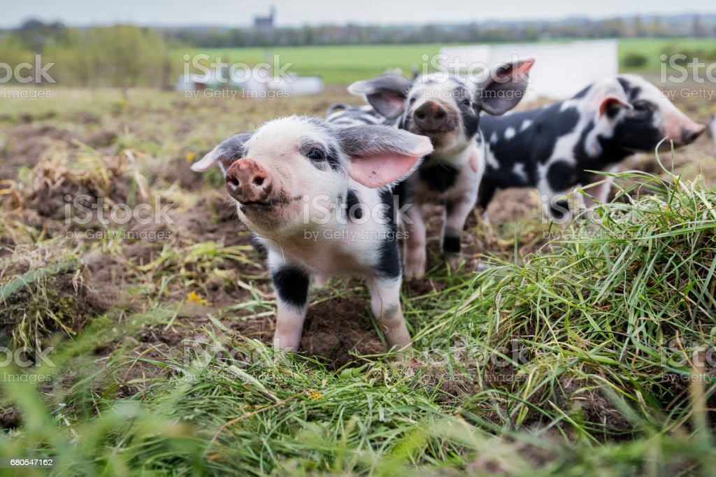 Herd of Curious Young Piglets Posing For The Camera. stock photo
