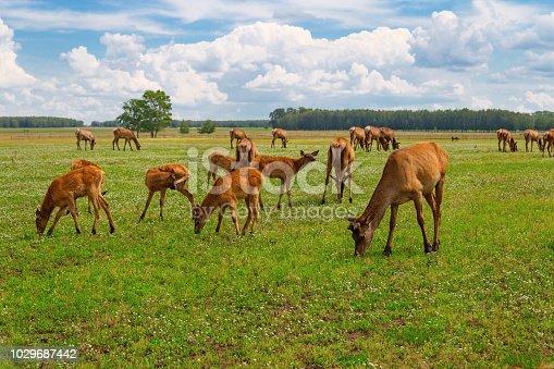 Herd of deer grazing on green meadow. Wild animals in nature. Deer chewing grass