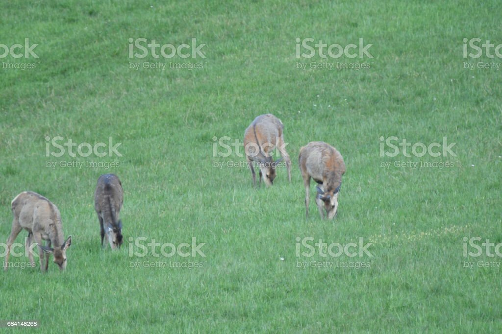 herd of deer grazing royalty free stockfoto