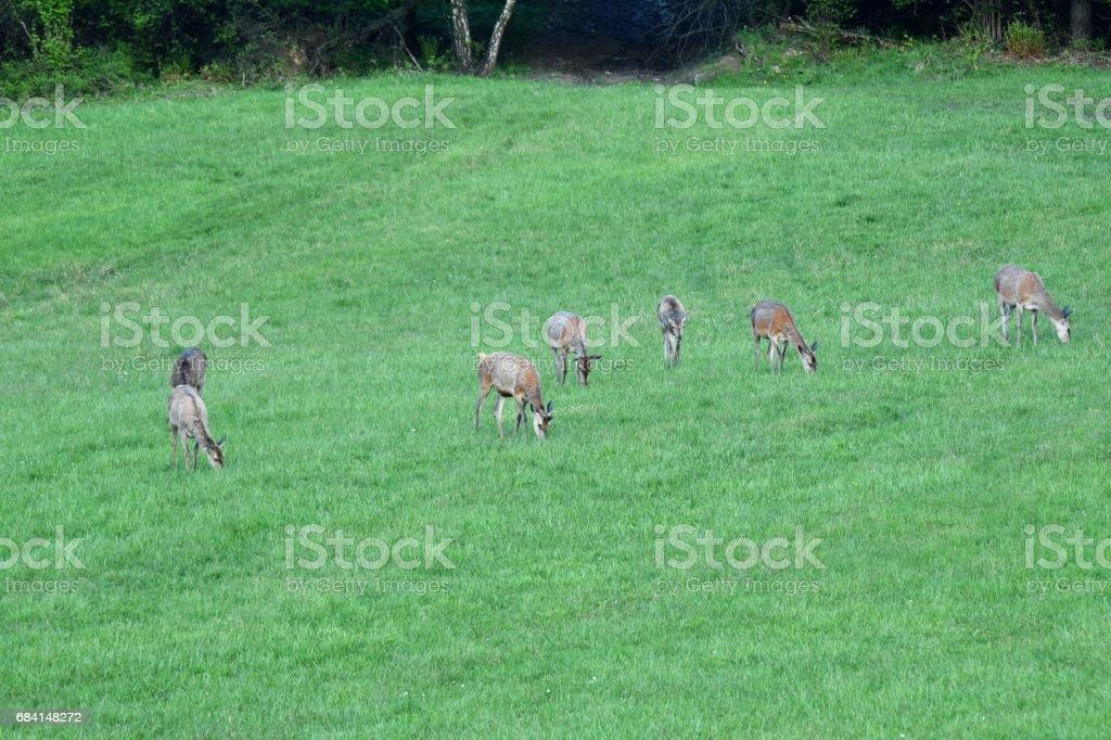 herd of deer grazing zbiór zdjęć royalty-free