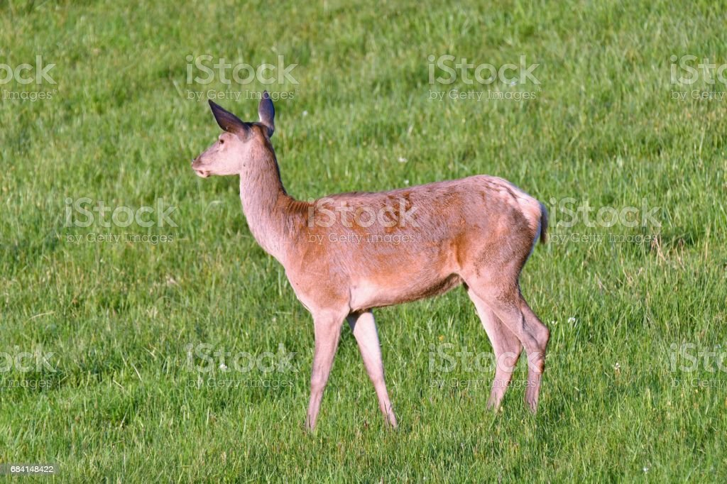 herd of deer grazing royalty-free stock photo