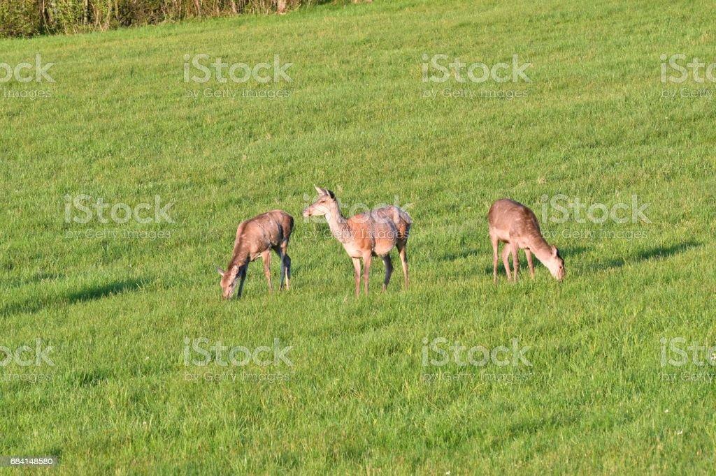 herd of deer grazing foto stock royalty-free