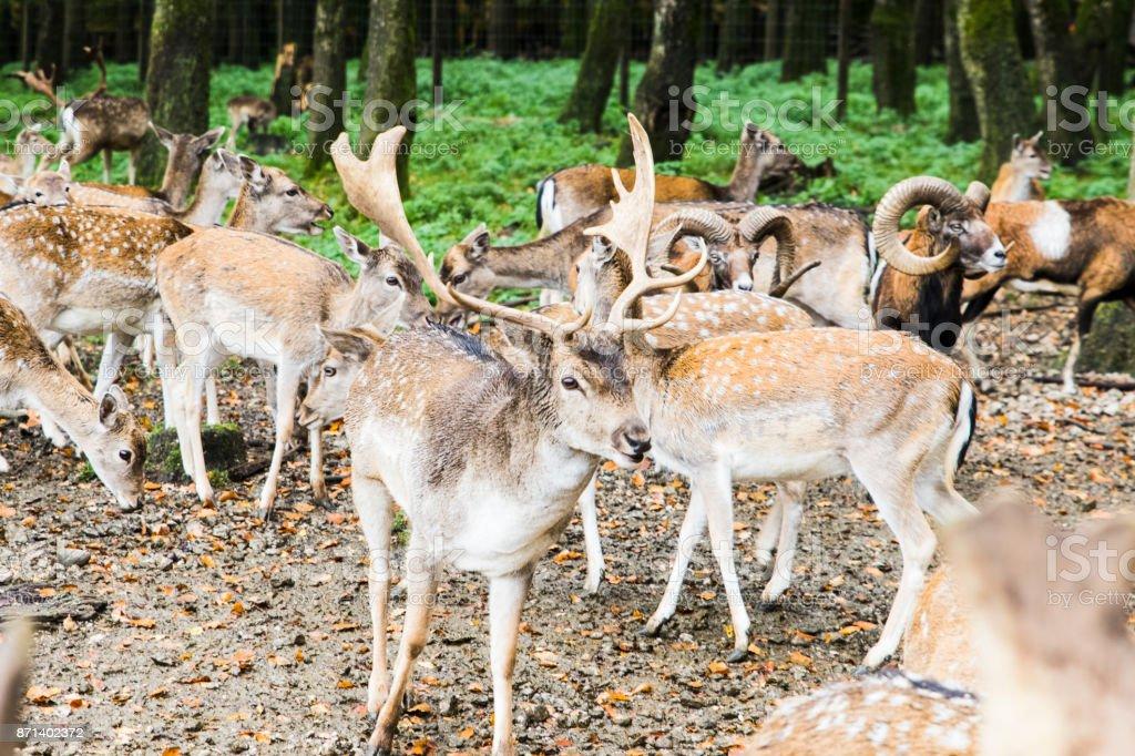 herd of deer in the forest stock photo