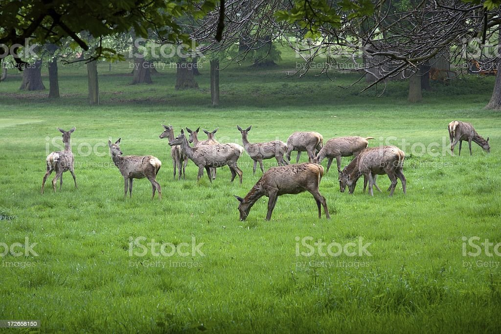 Herd of deer royalty-free stock photo