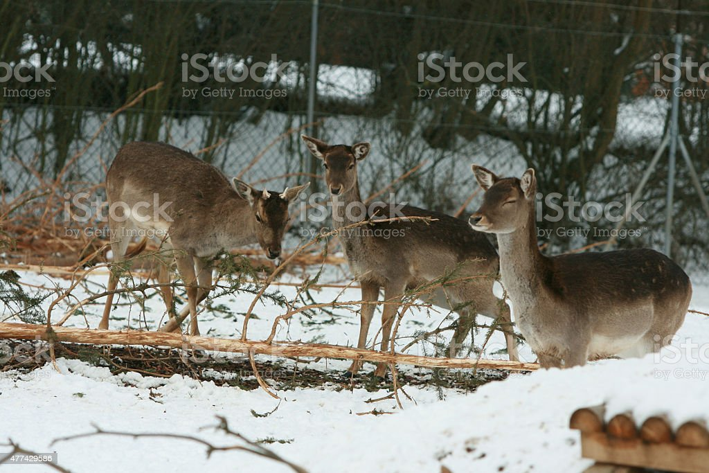 Herd of deer together in winter stock photo