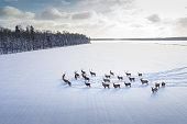 Herd of deers in winter day. Aerial view of winter landscape with wild deers. Symbol of freedom.