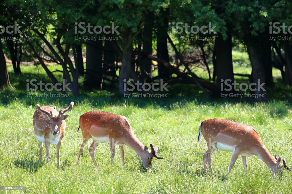 Troupeau de cerfs - Photo