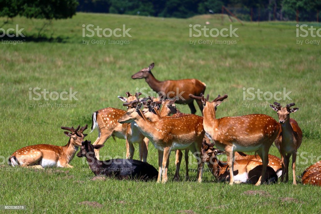 Troupeau de deers - Photo