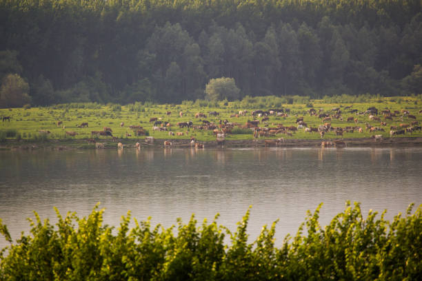 Herd of different domestic animals enjoying freedom in nature reserve. stock photo