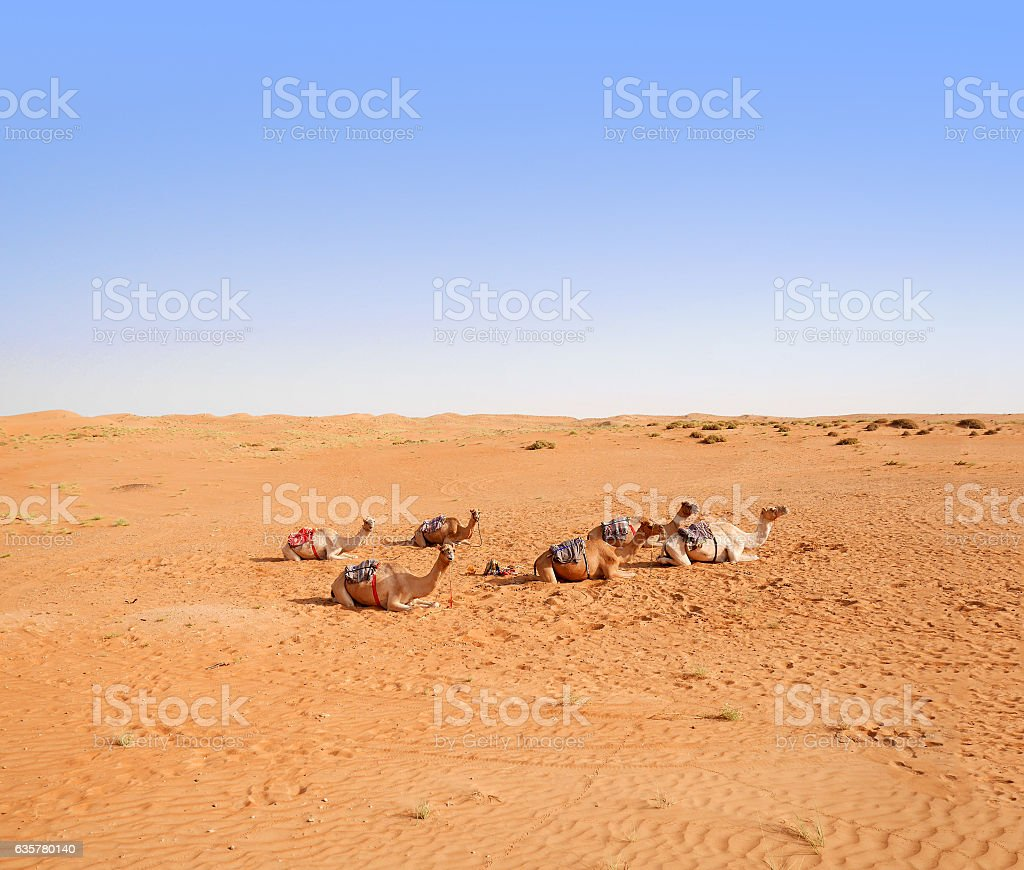 Herd of domestic camels in Wahiba desert, Oman stock photo