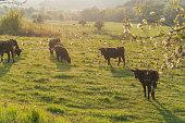Milk cows grazing in the meadow. Organic farm.