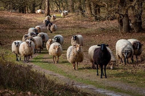 Herd of Drentse heather sheep