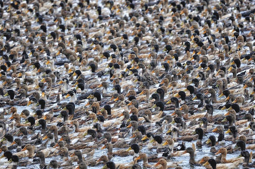 Herd of Ducks royalty-free stock photo
