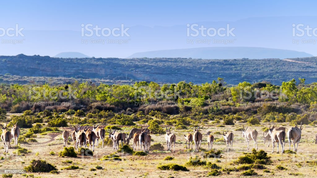 Herd of eland in the Cederberg Wilderness Area in South Africa stock photo
