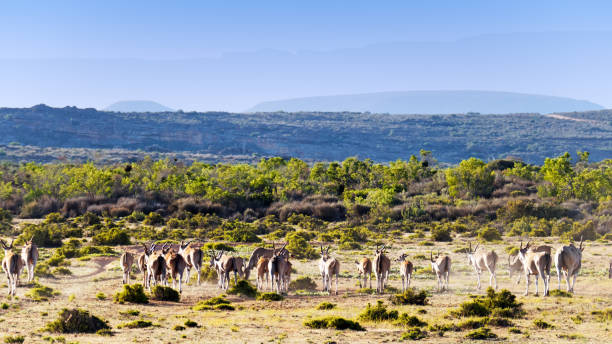 Manada de eland en la zona de desierto de Cederberg en África del sur - foto de stock