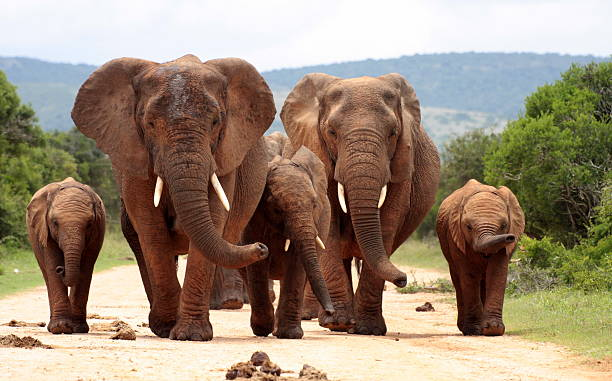 Herd of elephant approaching us in South Africa A group of different size elephants walk towards us in Addo park, Eastern Cape,South Africa tusk stock pictures, royalty-free photos & images