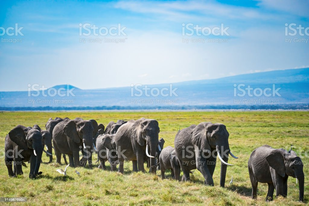 Herd of elephants and egretta birds stock photo
