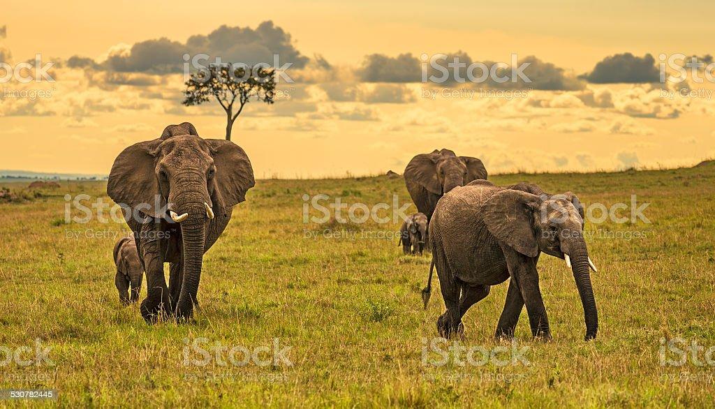 Herd of elephants at sunset stock photo