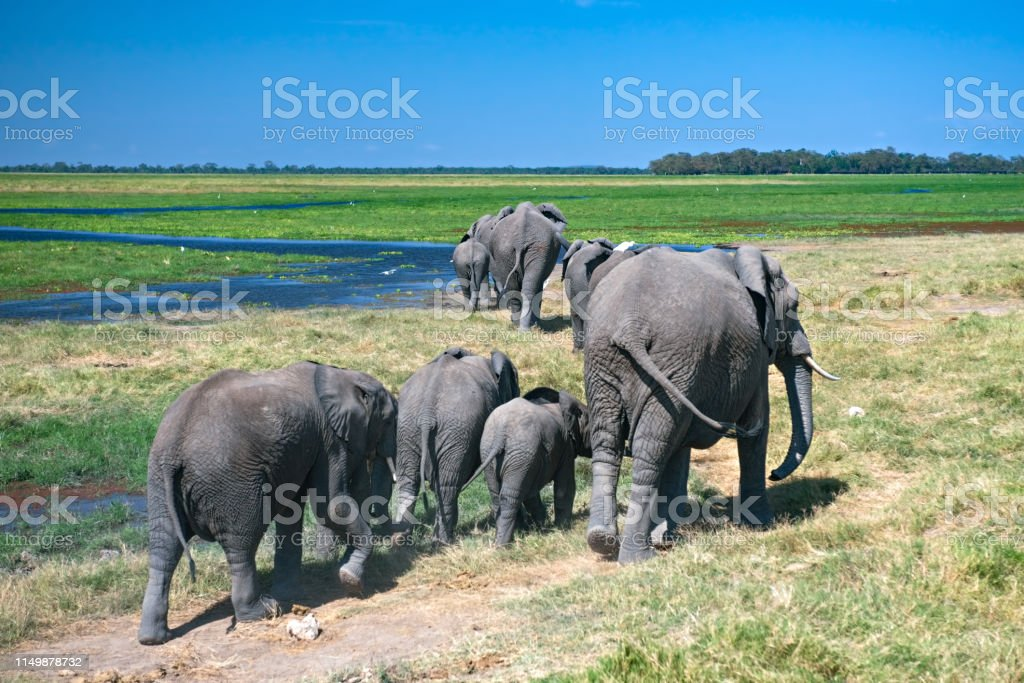 Herd of elephants at water hole stock photo