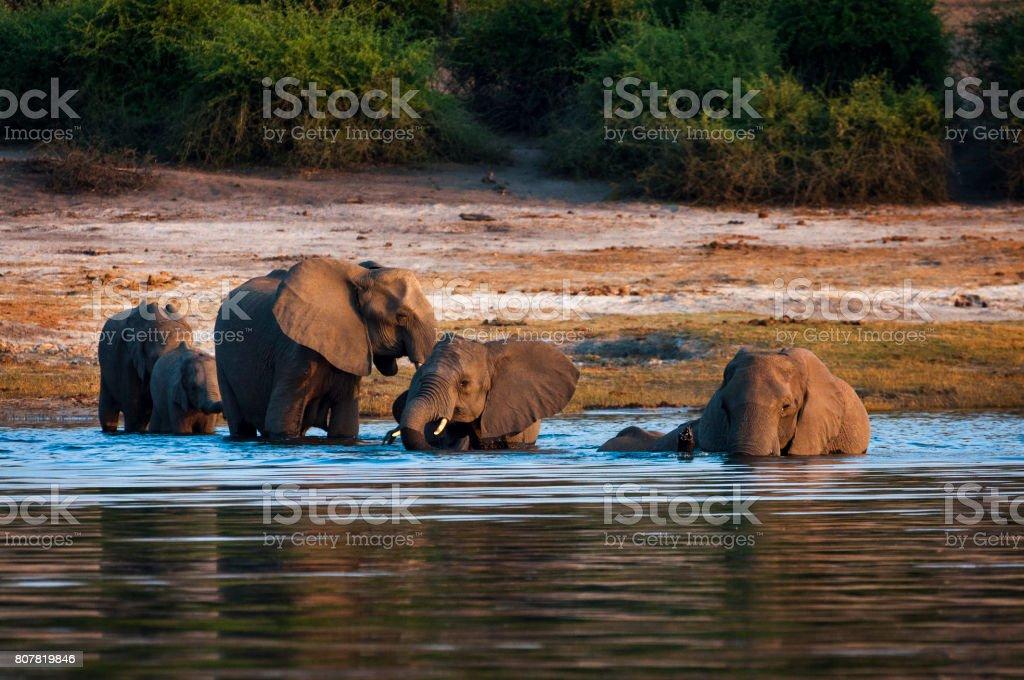 Herd of elephants crossing the Chobe River in Chobe National Park, Botswana stock photo