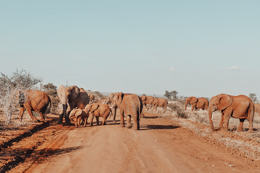 African elephants with youngsters crossing the red earth road in the Madikwe Game Reserve in South Africa.