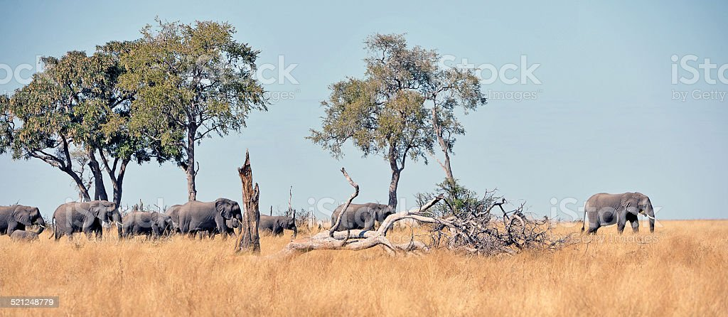 Herd of elephants graze across the Savuti Marsh plains, Botswana stock photo