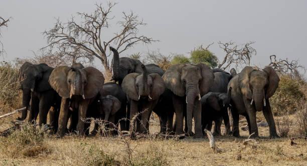 Herd of Elephants in Botswana. stock photo