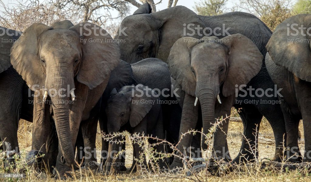 Herd of Elephants in Botswana--Close Up. stock photo