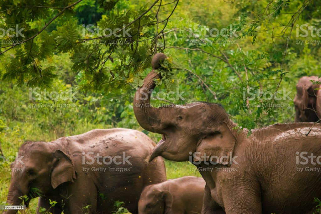 Herd of elephants in Kui Buri National Park, Thailand. stock photo