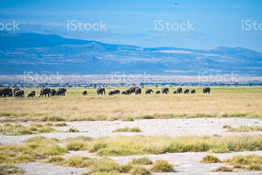 Herd of elephants in savannah stock photo