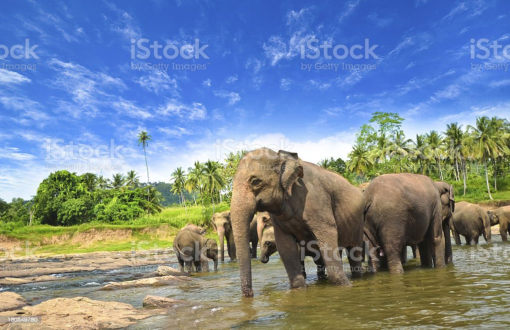 Herd of elephants in shallow water on a beautiful sunny day stock photo