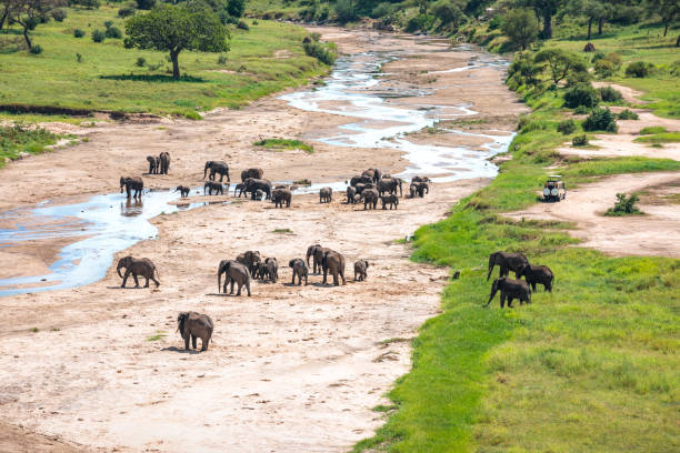 herd of elephants in tarangire national park - borchee stock pictures, royalty-free photos & images