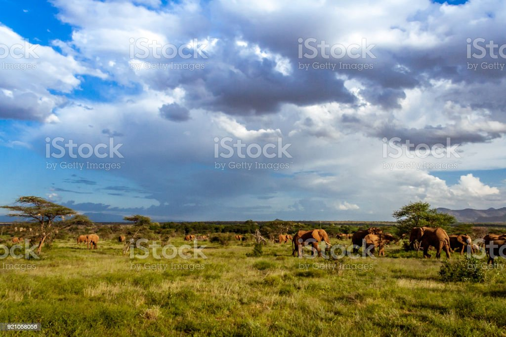Herd of elephants in the african savannah stock photo