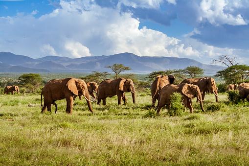 Three hot air balloons drift over the plains of The Serengeti National Park at dawn.