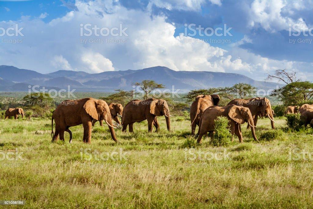 Herd of elephants in the african savannah stock photo
