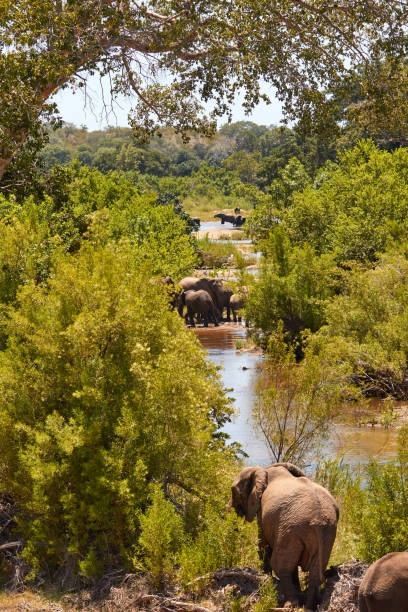 Herd of elephants in the river stock photo