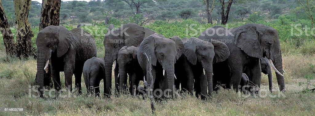 Herd of elephants standing together. stock photo
