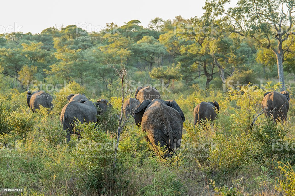 Herd of Elephants walking away in the bush. stock photo