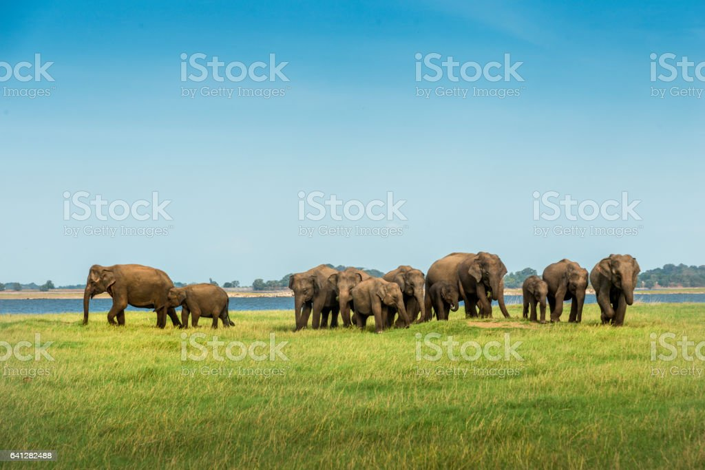 Herd of elephants walking to lake of Sri Lanka stock photo