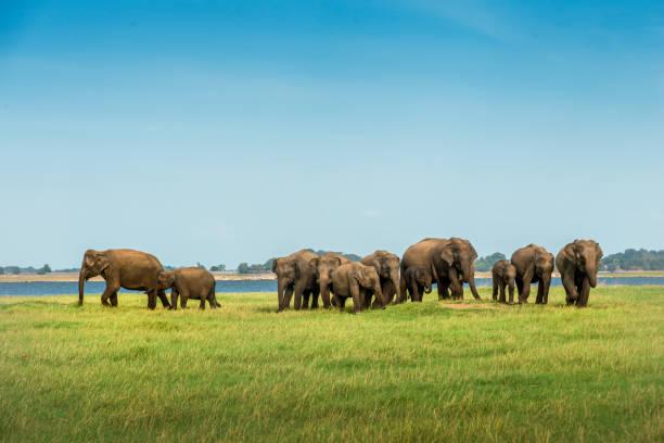 Herd of elephants walking to lake of Sri Lanka stock photo