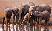 Elephant herd drink at a waterhole in Etosha