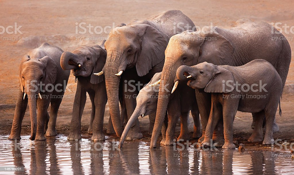 Herd of elephants with babies drinking from pond stock photo